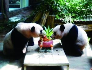 熊猫姐妹花一起分享起蛋糕大餐
