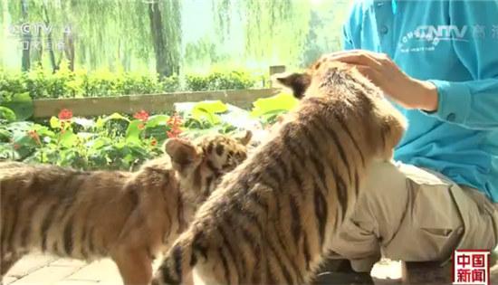 """原标题:   央视网消息:最近,北京野生动物园人工育幼室来了几位""""新朋友"""",在这里它们成了玩乐游戏的""""好朋友""""。   一个月大的小猕猴和80天的德氏长尾猴因为和别的小动物抢食争宠受了伤;两只小东北虎则因为虎妈妈喂养经验不足被送来人工育幼室,没事儿就喜欢卖萌求抱抱。  """"无辜""""小眼神  卖萌""""争宠""""  从年初开始,北京野生动物园共有30多种120多只小动物被送到了人工育幼室来抚养,在这里它们成了玩乐游戏的&ldq"""