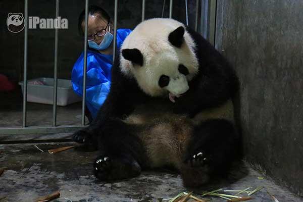 """大熊猫""""大娇""""成功产下一只大熊猫幼仔"""