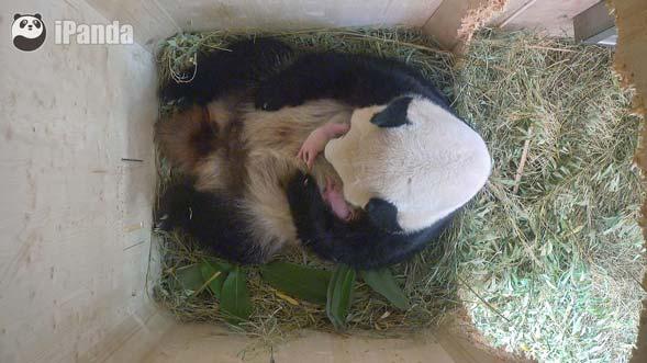 """大熊猫""""阳阳""""抚育双胞胎幼仔"""