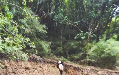 这只野生大熊猫迅速穿过马路,然后爬上只有1米高的土坎