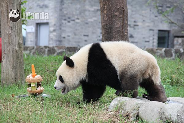奶爸为大熊猫青青精心准备的生日蛋糕