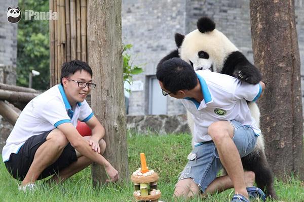 大熊猫青青和奶爸玩耍