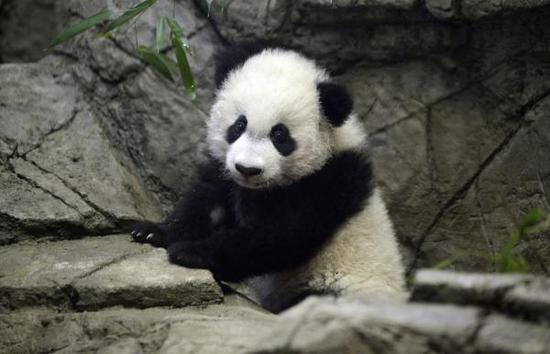 """2016年1月时的大熊猫""""贝贝"""""""