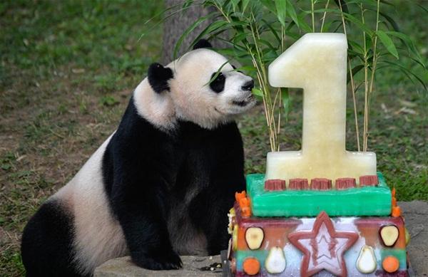 """واشنطن 21 أغسطس 2016 (شينخوا) الصورة الملتقطة يوم 20 أغسطس 2016، أنثى الباندا """"مي شيانغ"""" تأكل كعك بمناسبة أول عيد ميلاد لمولودها """"بي بي"""" في حديقة الحيوانات الوطنية الأمريكية بالعاصمة واشنطن."""