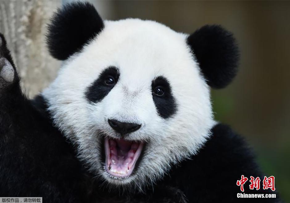 """熊猫宝宝""""暖暖"""""""