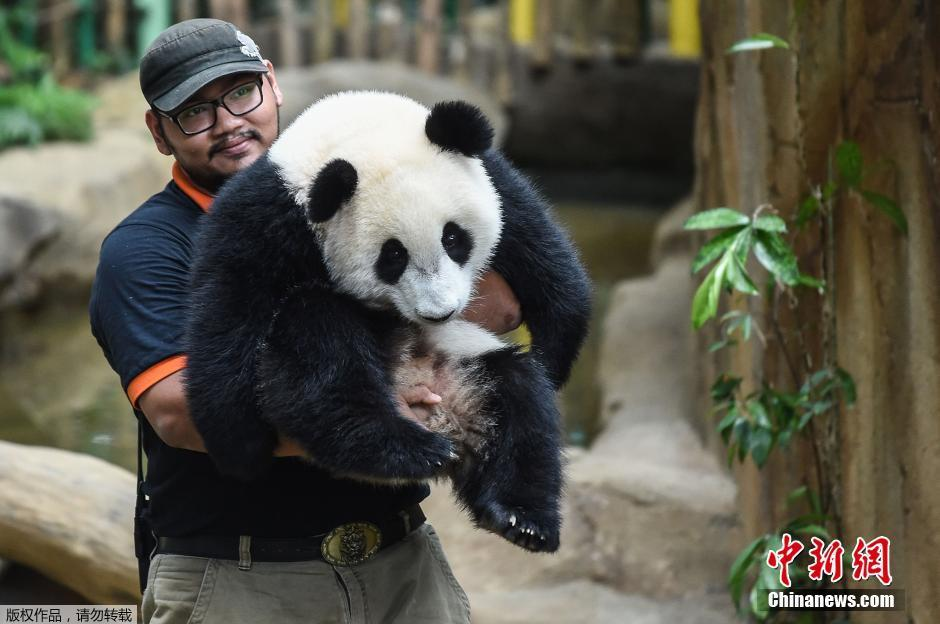 """熊猫宝宝""""暖暖""""举行生日庆祝活动"""