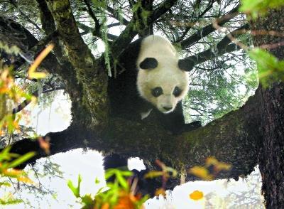 """红外线相机拍摄到的大熊猫""""淘淘""""在树上玩耍。 栗子坪保护区管理局供图"""