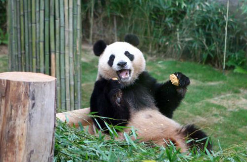 4月21日,旅韩大熊猫正式与韩国公众见面