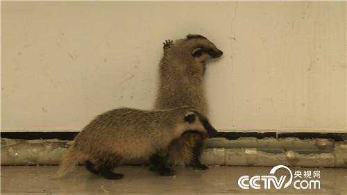 小獾是什么动物图片