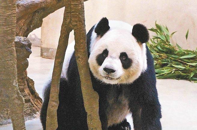 """熊猫""""团团""""和""""圆圆"""""""