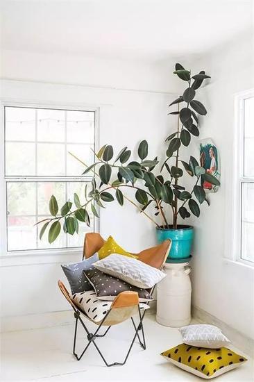 橡皮树又称作印度榕或者印度橡皮树.