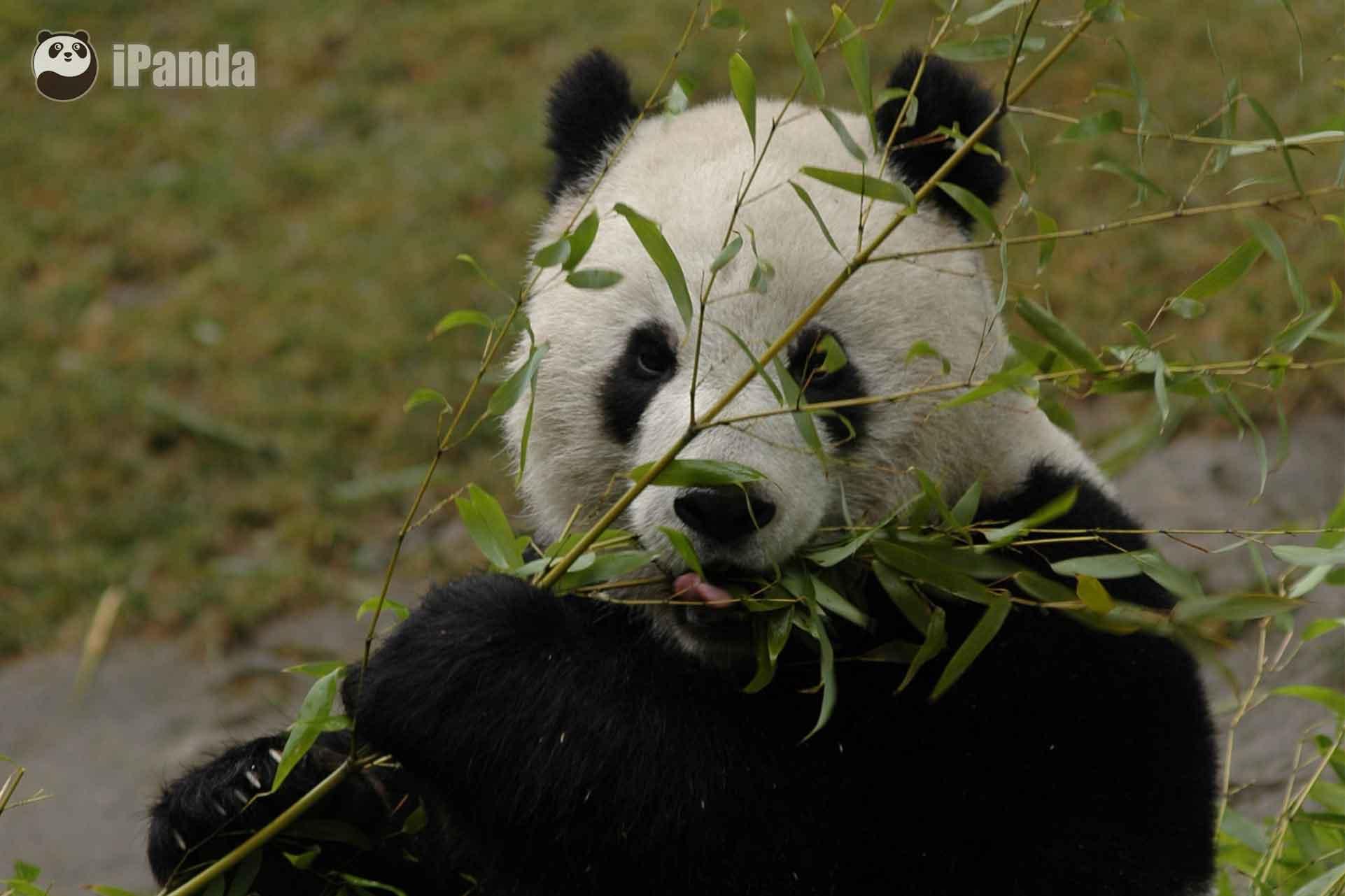 """大熊猫""""团团"""""""