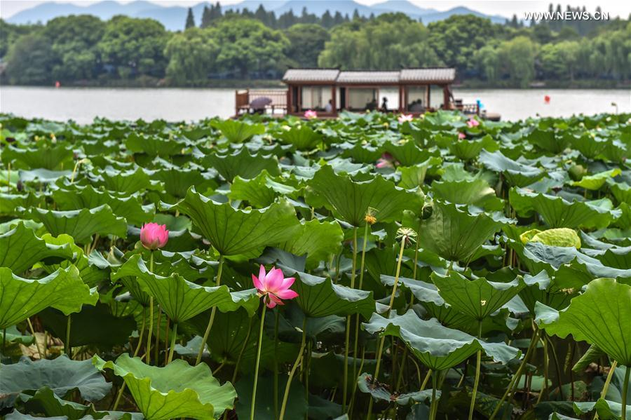 Hangzhou sleeping beauties in full bloom