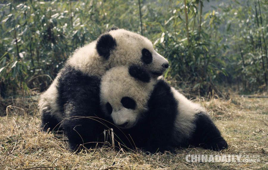 """大熊猫不再列为 """"濒危"""",但仍面临严峻生存风险"""