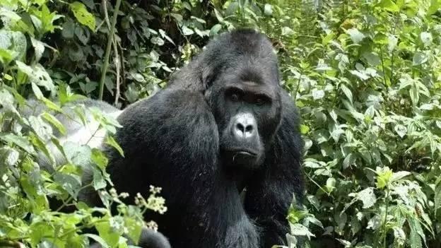 大猩猩被划定为极危