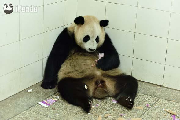 """大熊猫""""苏珊""""电闪雷鸣中产仔"""