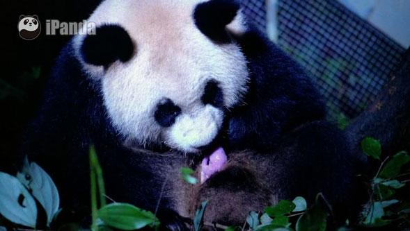 """大熊猫""""水秀""""及其幼仔"""