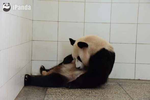"""大熊猫""""汪佳""""护仔严实"""