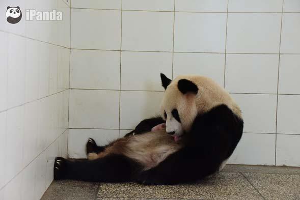 """大熊猫""""汪佳""""与熊猫宝宝"""