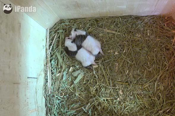 """旅奥大熊猫""""阳阳""""的双胞胎幼仔"""