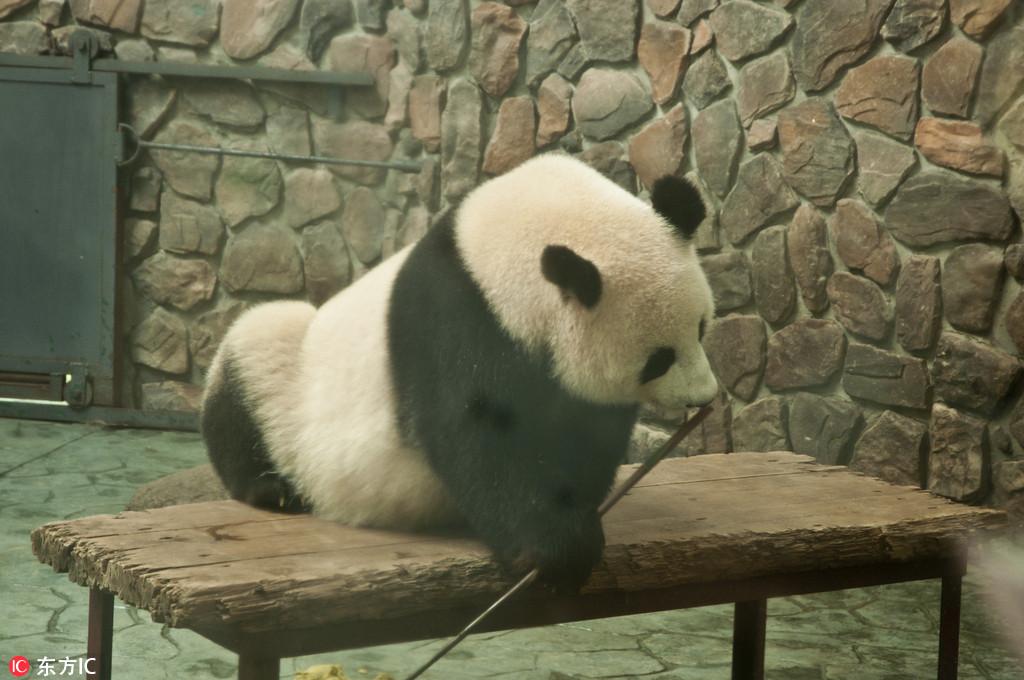 萌态大熊猫