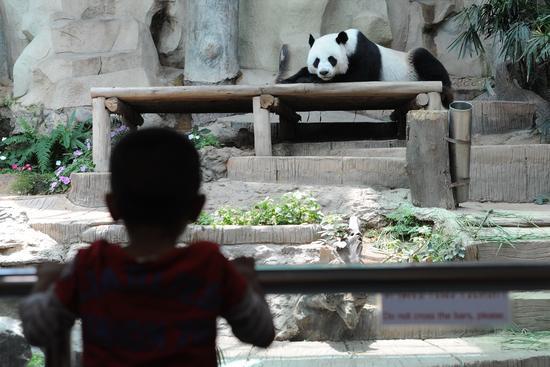 """9月13日,一名男孩在泰国清迈动物园观看大熊猫""""创创""""。新华社发(拉亨摄)"""