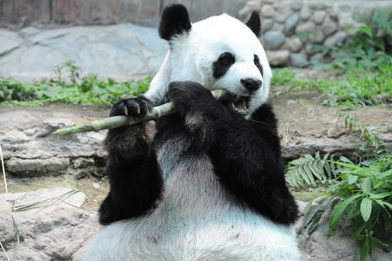 """9月13日,大熊猫""""林惠""""在泰国清迈动物园进食。新华社发(拉亨摄)"""