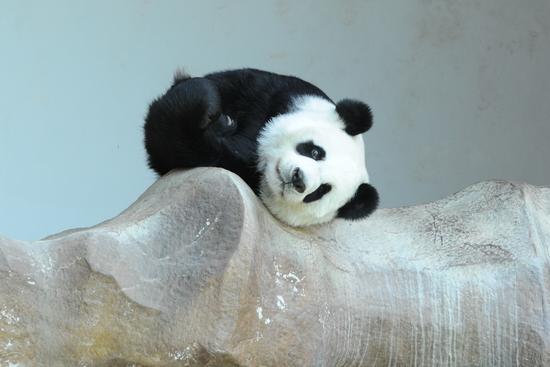 """9月13日,大熊猫""""林惠""""躺在泰国清迈动物园的假山上。新华社发(拉亨摄)"""