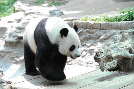 """9月13日,大熊猫""""创创""""在泰国清迈动物园散步。新华社发(拉亨摄)"""