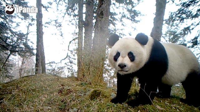 野外红外摄像头捕捉到的野生大熊猫资料(图:白水江保护区提供)