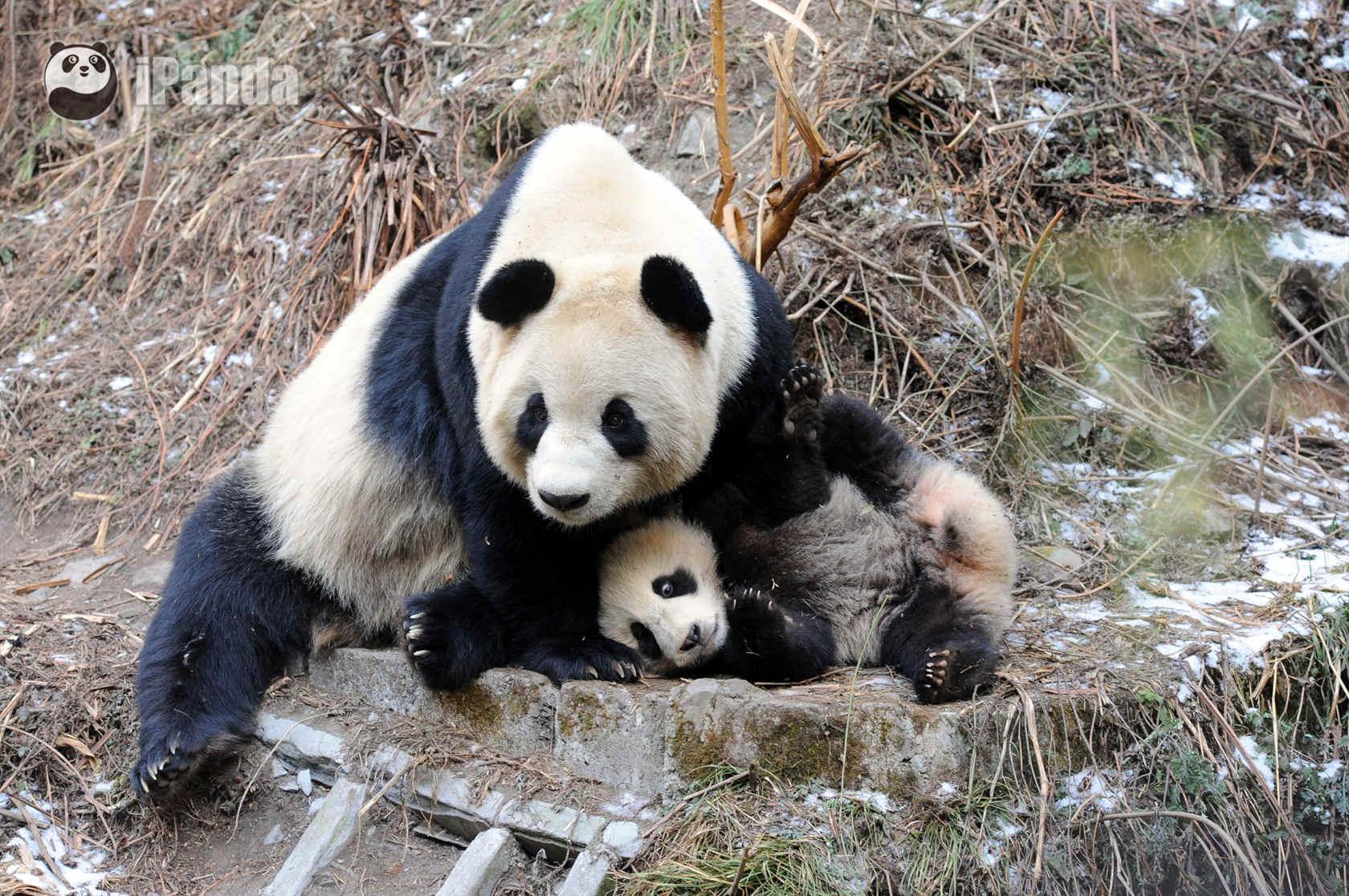 野化环境中的大熊猫 资料图