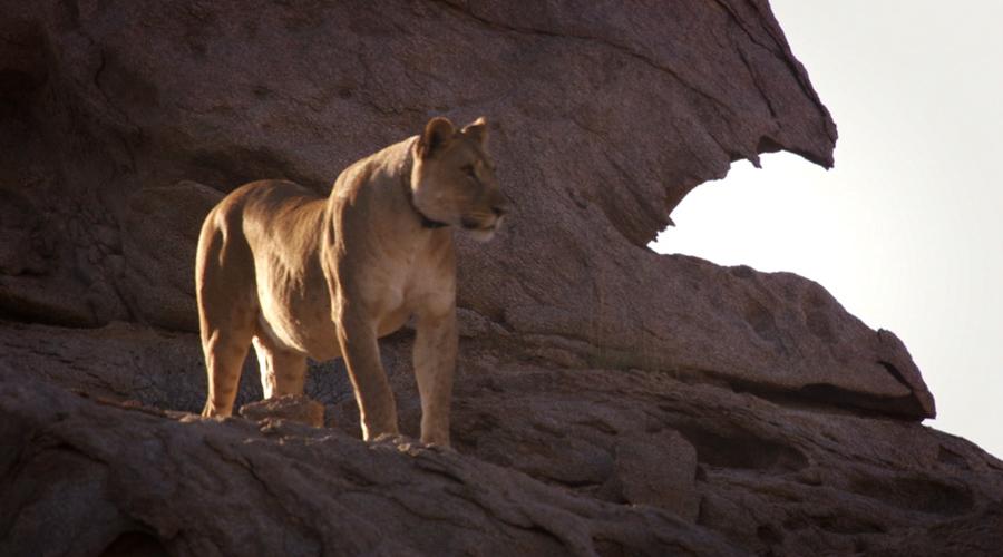 自然传奇 纳米布沙漠的雄狮 9月22日
