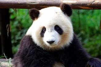 """大熊猫""""七喜"""""""
