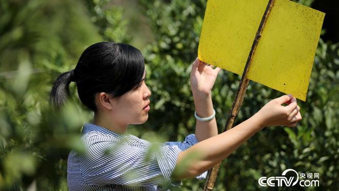"""9月22日,在广西柳州市融安县大将镇富乐村,桔农赖园园在桔园检查""""黄板"""