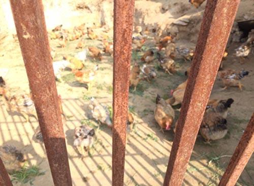 沈家岭村养鸡场。中国干部学习网 张倩楠 摄