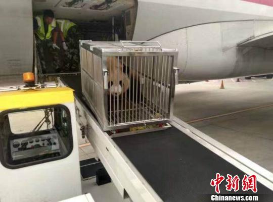 图为熊猫姐妹平安抵达鄂尔多斯机场 鄂尔多斯旅游局提供