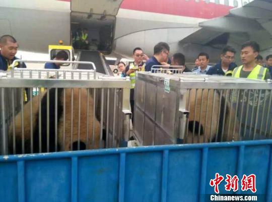 """图为熊猫姐妹即将从鄂尔多斯机场前往它们的""""草原之家"""" (鄂尔多斯旅游局提供)"""