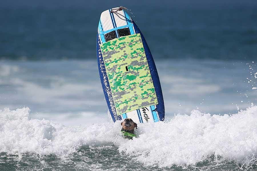 Compétition mixte de surf chiens-humains en Californie