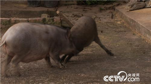 六头小猪如何变出千万财富