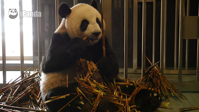 """大熊猫妈妈""""心心"""" 资料图"""