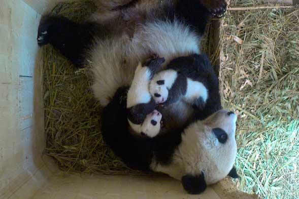"""大熊猫""""阳阳""""及其幼仔"""