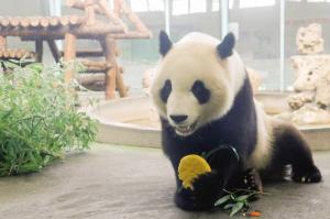"""大熊猫""""喜乐"""""""