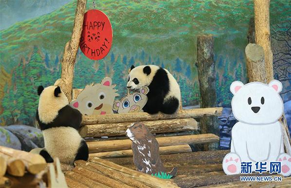 """熊猫宝宝""""加悦悦""""与""""加盼盼""""在装饰一新的活动屋里玩耍"""