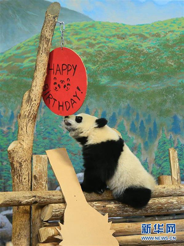 """熊猫宝宝""""加盼盼""""在装饰一新的活动屋里玩耍"""