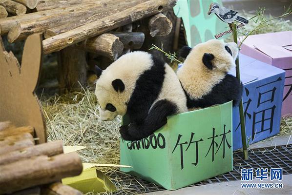 """熊猫宝宝""""加悦悦""""(左)与""""加盼盼""""在""""抓周""""活动中挤入写有""""竹林""""的盒子中"""