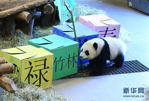 """熊猫宝宝""""加悦悦""""在""""抓周""""活动中准备从写有""""福""""""""禄""""""""寿""""与""""竹林""""的盒子中进行挑选"""