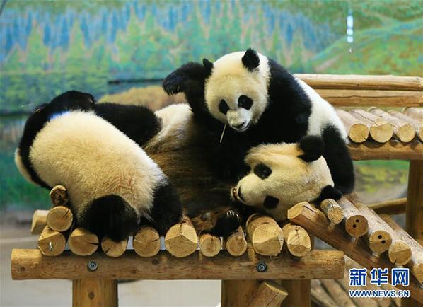 """熊猫宝宝""""加悦悦""""与""""加盼盼""""在活动屋里与母亲""""二顺""""玩耍"""