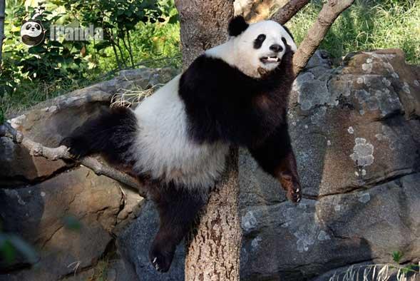 """大熊猫""""泰山""""在美国"""