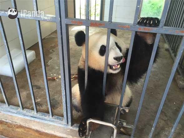 """大熊猫""""福豹"""""""